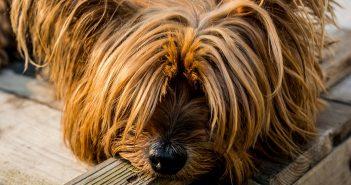 yorkshire-terrier-320833_1920